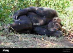 https://c8.alamy.com/comp/H6GXEH/sleeping-chimpanzee-H6GXEH.jpg