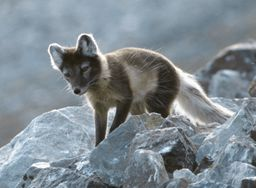 https://upload.wikimedia.org/wikipedia/commons/2/2f/Arcticfox-3.jpg