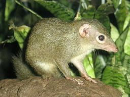 https://upload.wikimedia.org/wikipedia/commons/c/cd/Stavenn_Tupaia_glis_00.jpg