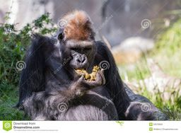 https://thumbs.dreamstime.com/z/gorilla-gorilla-gorilla-western-zoo-yes-eating-his-own-poop-52576934.jpg