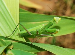 http://upload.wikimedia.org/wikipedia/commons/thumb/a/a0/Mantid_August_2007-2.jpg/800px-Mantid_August_2007-2.jpg